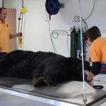 custom made stainless steel surgical table for animal sanctuary as seen with black bear prepping for dental work